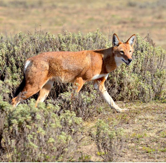 """Wolf aus dem Film """"MEGETI – AFRICA'S LOST WOLF"""""""